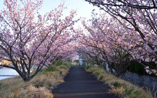 桜の花のトンネル