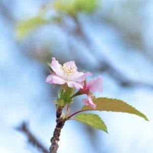 青野川 堤防の桜